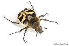 Trichius fasciatus (Hyönteismies) Tags: coleoptera kimalaiskuoriainen pmökki scarabaeidae trichiusfasciatus dettk kovakuoriainen lehtisarvinen lehtisarviset studio