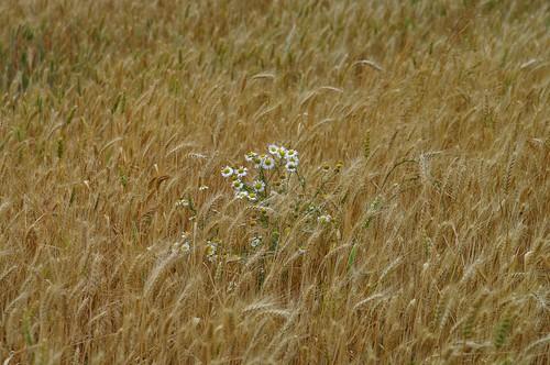 Kamille im Weizenfeld