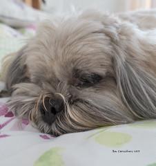 my birthday girl..... (bevscwelsh) Tags: mwtw lhasaalso dog cariad companion loving faithful sonyrx100m3
