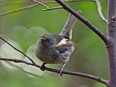 Hihi - female - unbanded (digitaltrails) Tags: stitchbird hihi karoribirdsanctuary karori bird sanctuary new zeland karorisanctuary notiomystiscincta newzealand zealandia