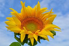 Sunflower (misi212) Tags: sunflower blue sky