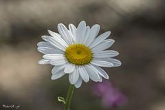 Individual (pedroramfra91) Tags: naturaleza nature flor flower margarita primavera spring