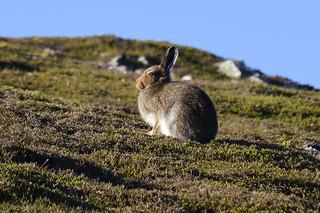 Scottish Mountain Hare (Lepus timidus)