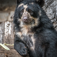 Hanging Out [In Explore 6/4/17] (helenehoffman) Tags: spectacledbear bear alba conservationstatusvulnerable mammal sandiegozoo ursidae southamerica carnivore andeanbear tremarctosornatus