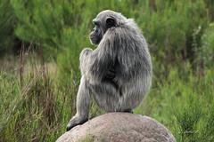 Chimpansee (K.Verhulst) Tags: chimpansee chimpanzee ape mensaap beeksebergen safariparkbeeksebergen hilvarenbeek tilburg apen monkeys