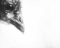 (CarbonNYC [in SF!]) Tags: australorp bw babychick beak chick chicken