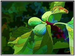 Fresh figs and good cheer... (Mike Goldberg) Tags: jerusalemvicinity figs tree fruit ripening canong16 effects mikegoldberg hss