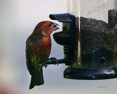 Finch Munchies (Chris Ehrlich Photography) Tags: cde photography bird feeder finch nature beauty nikon colors happiness