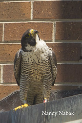 May 27, 2017 Peregrine banding