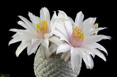 Mammillaria albiflora (clement_peiffer) Tags: mammillaria albiflora d7100 105mm cactaceae succulent peiffer clement nikon cactus fleurs flower spines epines kaktusi кактуси flowerscolors