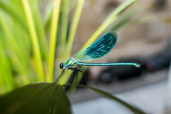 A male beautiful demoiselle - damselfly, calopteryx virgo (AliénorPhotos) Tags: electric petroleum blue dragonfly butterfly insect macro sony