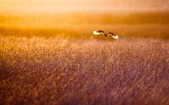 Golden Owl (timkrige) Tags: fly silhouete light sunset owl bird grass color colour nature landscape flight shadows contrast beauty south africa southafrica marshowl