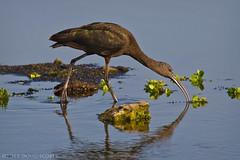 Glossy Ibis (Doug Scobel) Tags: glossy ibis plegadis falcinellus circlebbar wading bird wildlife nature birdperfect