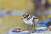 Semipalmated Plover chick standing along the Solomon River near Nome, Alaska.. (Donald Quintana Nature Photography) Tags: nome alaska solomonriver semipalmatedplover hatchling chicks down babybird droh dailyrayofhope