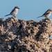 Loggerhead Shrikes perched on Tufa