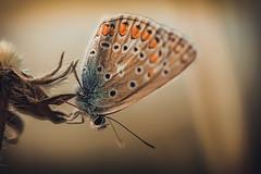Fragile Existence (der_peste) Tags: macro makro proxy butterfly schmetterling insect insekt moth hollymoth erosmoth color colour blur dof shallowdepthoffield bokeh sonya7ii sonya7m2 sel90m28g 90mm f28