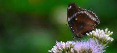 quella luce della sera... (andrea.zanaboni) Tags: farfalla butterfly fiore flowers luce light sera colori colors nikon macro summer estate