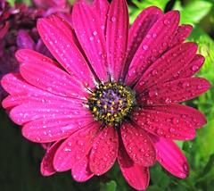 Glisten (Cher12861 (Cheryl Kelly on ipernity)) Tags: garfieldparkconservatory chicagoillinois springflowershow2017 deeppink flower macro closeup petals waterdrops