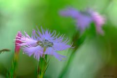 Oeillets (jpto_55) Tags: fleur oeillet macro bokeh xe1 fuji fujifilm fujixf55200mmf3548rlmois cirquedecagateille ariège france ngc