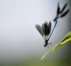 occhio alle spalle... (andrea.zanaboni) Tags: fly volo libellule dragonfly nikon macro blu insetti insects predatore