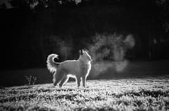 Maremma on a frosty morning. (Skye Auer) Tags: maremma lga snowymountains victoria winter frost 9 dog white mist lambing mountains