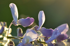 Evening view (dfromonteil) Tags: evening soir light sunlight sunset lumière coucher fleurs flowers purple violet pourpre macro bokeh nature glycine
