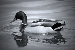 It's Just A Duck (DiddyCoull-2016) Tags: duck simple bird swimming swim swims floating ripple water lake feathers green clear black white bw grayscale monochorme mono edited cropped photo photograph photography ameatur young walk park views view harrold odell country countryside bedford bedfordshire england anglia uk unitedkingdom greatbritain waters 2017 nikon coolpix reflection reflective lonely gracefully graciously calm may spring summer beak droplets drifting beautiful