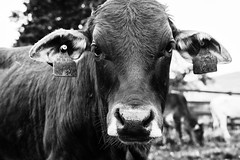 The cow! (martinpmayer) Tags: tier animal kuh cow bnw bw mono country farming milch milk vegan vegetarian meat beef rind 35mm fuji black nature natur blackandwhite close closeup flickr flickrhero flickrheroe hero view eyes augen