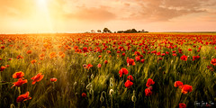 Sunset & poppies (franciscogarcíadesoria) Tags: amapolas huelva sunset