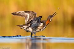 Óðinshani (Phalaropus lobatus) - Red-necked Phalarope (Elma_Ben) Tags: óðinshani redneckedphalarope phalaropuslobatus iceland canoneos7dmarkii sigma150600mm elmaben fly beautiful beautifulbird birdsiniceland