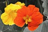 nasturtium (Roland S.) Tags: colorkeying blossom flower orange yellow 2017 kapuzinerkresse