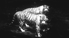 TWINS (christianlee89) Tags: monotone monochromatic noir tiger whitetiger