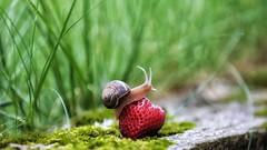 La scalata (Luc1659) Tags: fragola lumaca dettagli garden snail strawberry estate ngc