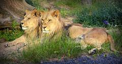 Frérots (Raymonde Contensous) Tags: lions lionceaux atlasetkibo parczoologiquedeparis zoodevincennes pzp mnhn félins félidés animaux nature