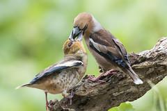 FROSONI (ric.artur) Tags: animali ali frosone nikon naturalmente natura