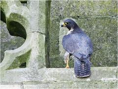 Peregrine Falcon (Antony Ward) Tags: raptors falcon peregrine birds yorkminster birdofprey