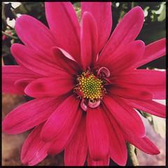 (meeeeeeeeeel) Tags: detalhes details squareformat hipstamatic iphone iphoneography macro oneflower jardim garden crisântemo chrysanthemums flor petalas petals crisântemorosa pinkchrysanthemum closeup flower corderosa rosa pink