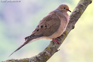 Morning Dove On Branch
