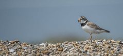 Ringed Plover on Shingle (Osgoldcross Photography) Tags: bird wader plover ringedplover shingle beach pebbles rocks sky feathers plumage nature naturalhistory wings beak calling call nikon nikond810 raw minsmere rspbminsmere suffolk summer holiday coast coastal