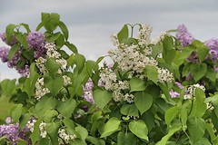 Lovely Lilacs (hbailliebrown) Tags: spring whitelilacs lilacs farm trees ontario canada springflowers flowers scent purple lilac