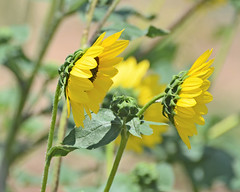 Sisters (sundero) Tags: flower blackeyedsusan texas westtexas wildflower