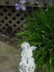 DWARF AGAPANTHUS (LILY OF THE NILE) (kelsey61) Tags: flowers flower floweringplants gardens garden gardenlandscaping plants plant yard fleur leaves gardenstatuary agapanthus lilyofthenile
