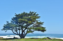 Lone tree with Pacific Ocean (stevelamb007) Tags: california pacificgrove tree pacificocean stevelamb nikon d7200