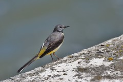 Bergeronnette des russeaux - Motacilla cinerea - Grey wagtail (pablo 2011) Tags: collectionnerlevivantautrement ngc nikonflickraward nikonpassion nikond500 nikkor200500mm toulouse nature garonne lebazacle oiseau bird bergeronnettedesruisseaux motacillacinerea greywagtail