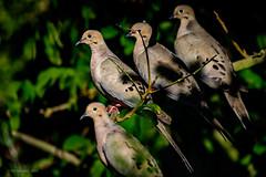 Mourning Doves (halladaybill) Tags: mourningdove coronadelmar backyard orangecounty california nikond500 nikkor200500zoom