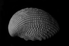 Ridges And Shapes In An Old Shell (Bill Gracey 15 Million Views) Tags: noiretblanc blancoynegro blackandwhite bw highcontrast blackbackground perspex offcameraflash softbox ridges shapes shadows yongnuorf603n yongnuo macrolens homestudio tabletopphotography seashell shell seaofcortez