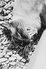 Zzz (annnedai) Tags: ♥ cat babycat