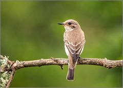Balearic Spotted Flycatcher - Muscicapa striata balearica (Warrener) Tags: balearicspottedflycatcher muscicapastriatabalearica mallorca majorca balearic islands passerine