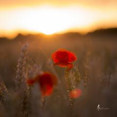Douceur d'un soir (pierrelouis.boniface) Tags: sunset sunshine sun coquelicots poppies gold red light canon