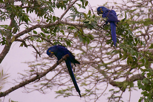 brazil-pantanal-caiman-lodge-hyacinth-macaws-roosting-tree-copyright-thomas-power-pura-aventura